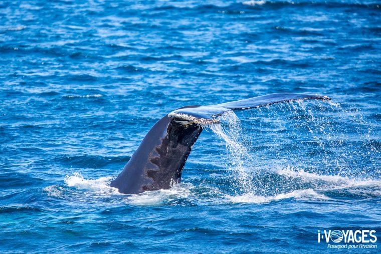 Baleine à bosse, Dalvik