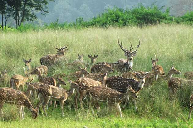 cerf axis kanha