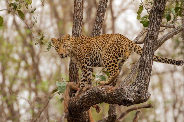 Leopard © David Raju