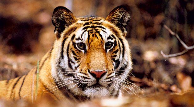 sur les traces du tigre
