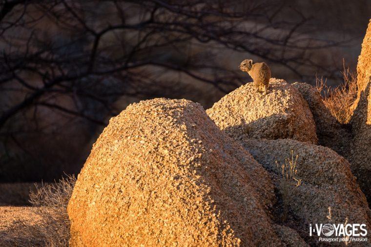 Damaraland, Daman des rochers
