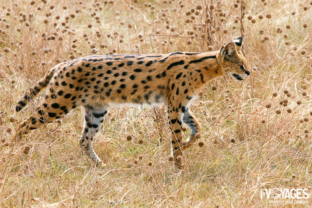 Serval, cratère NogoronGoro