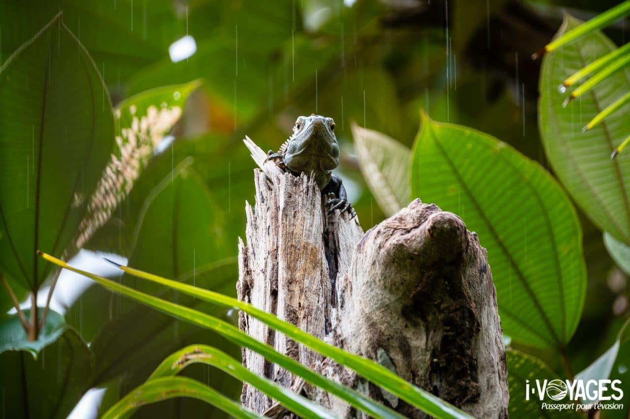 Iguane noir, parc national Marino Ballena
