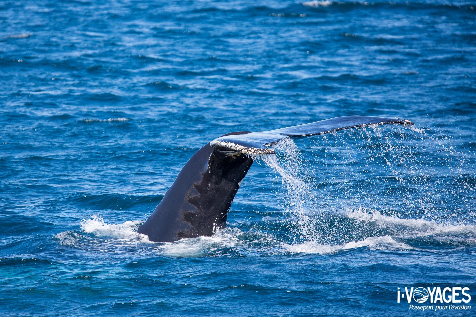 observation des baleines en Islande