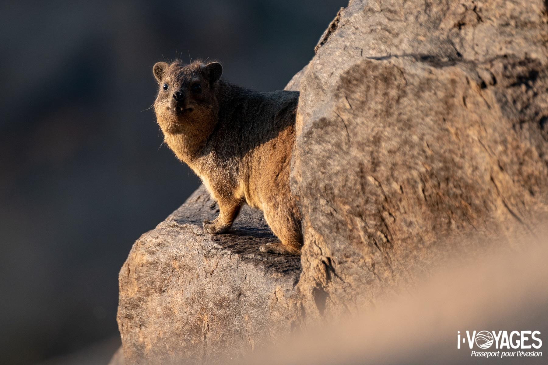 Daman des rocher, parc national des chutes d'Augrabies