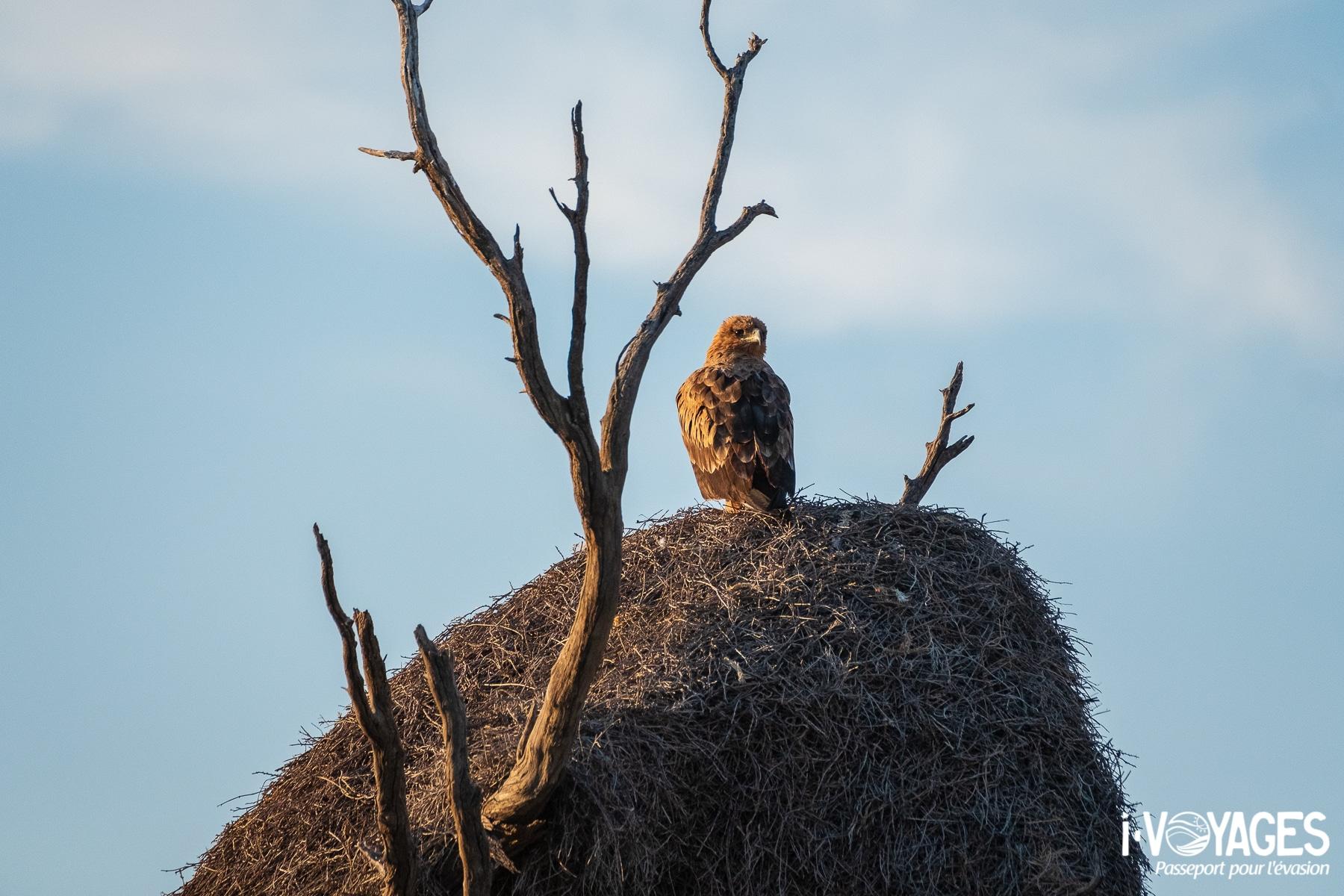 Aigle ravisseur, parc transfrontalier Kgalagadi