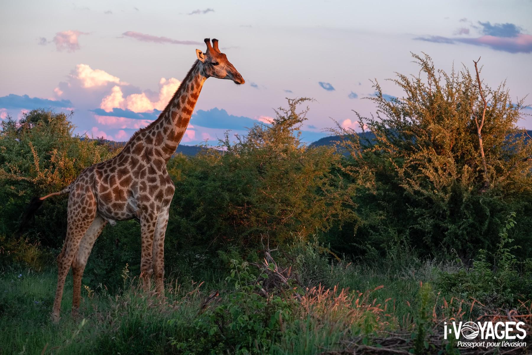 Girafe, Madikwe Game Reserve.
