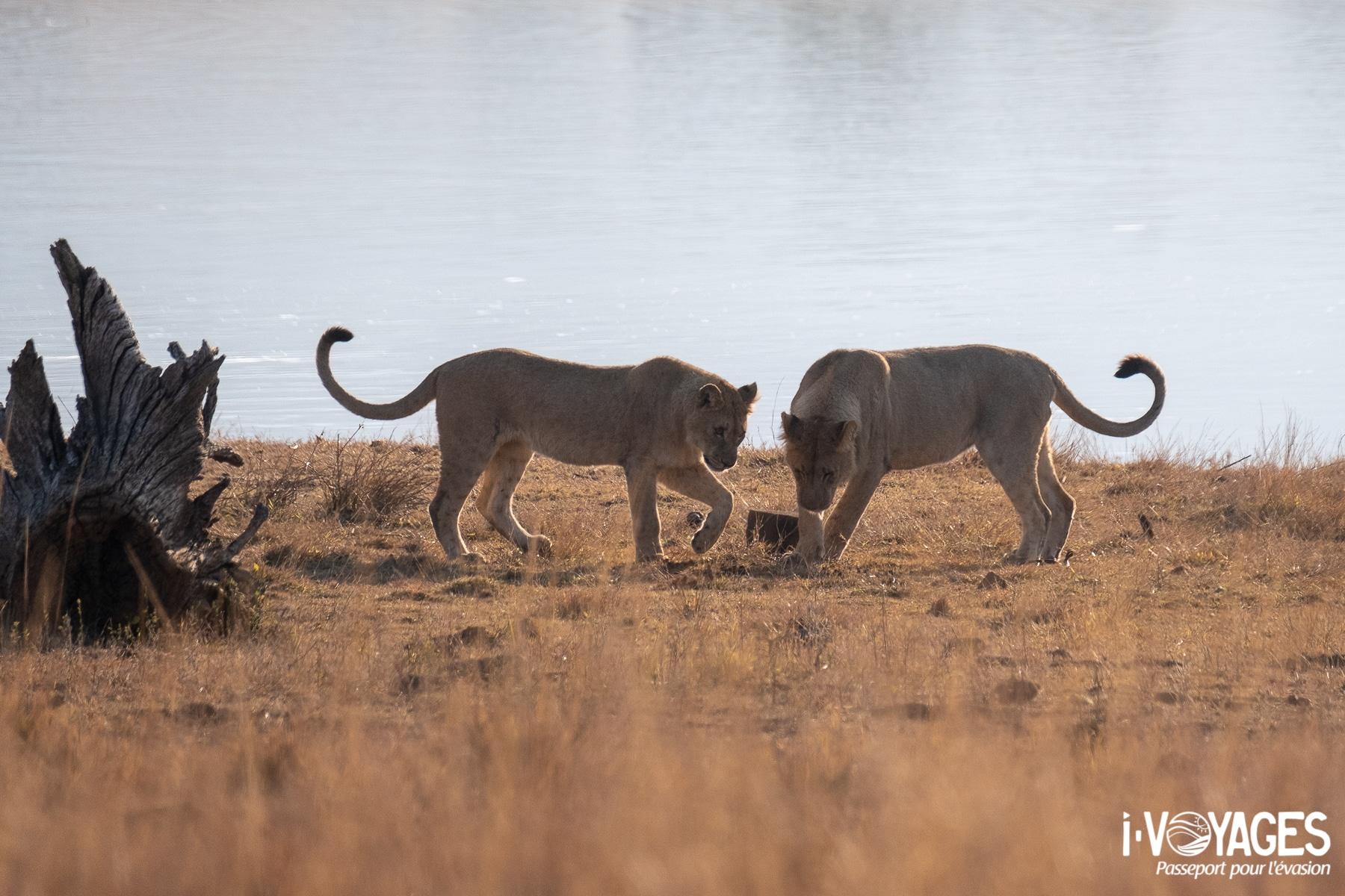 Lion, Pilanesberg