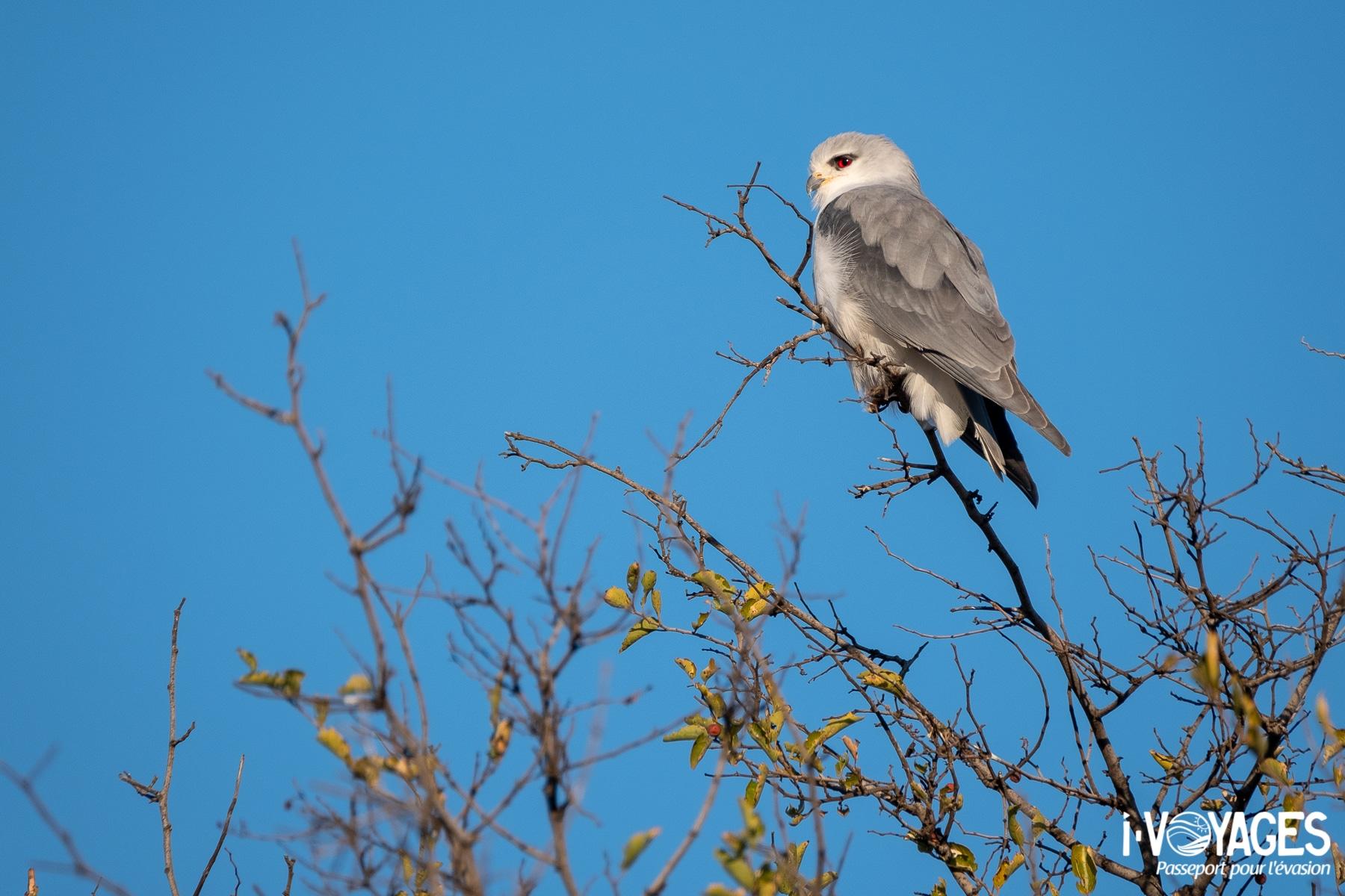 Fauconnet d'Afrique, parc transfrontalier Kgalagadi