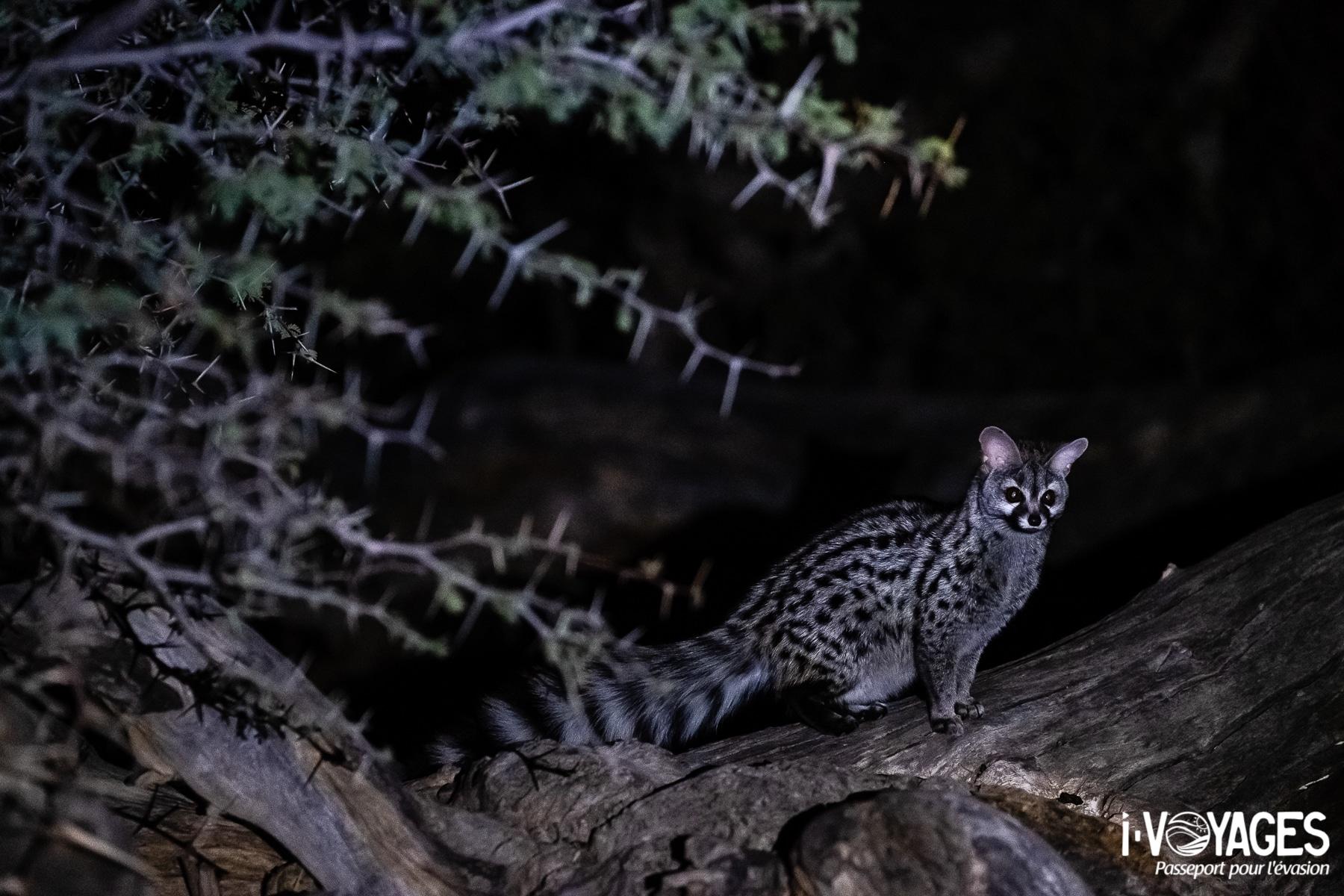 Genette commune, Witsand Nature Reserve