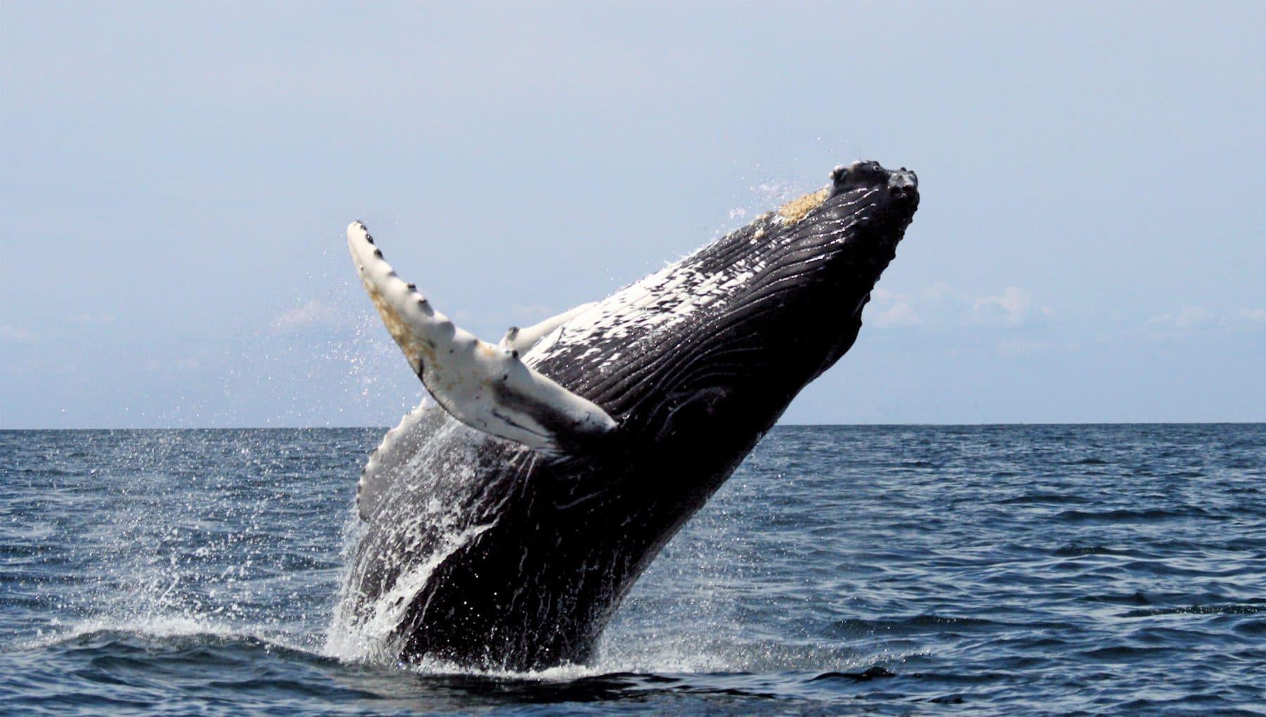 observer les baleines à bosse, 10 expériences nature à vivre au Costa Rica