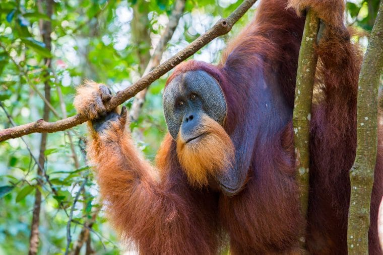 Orang-outan de Sumatra (Pongo abelii), Indonésie.
