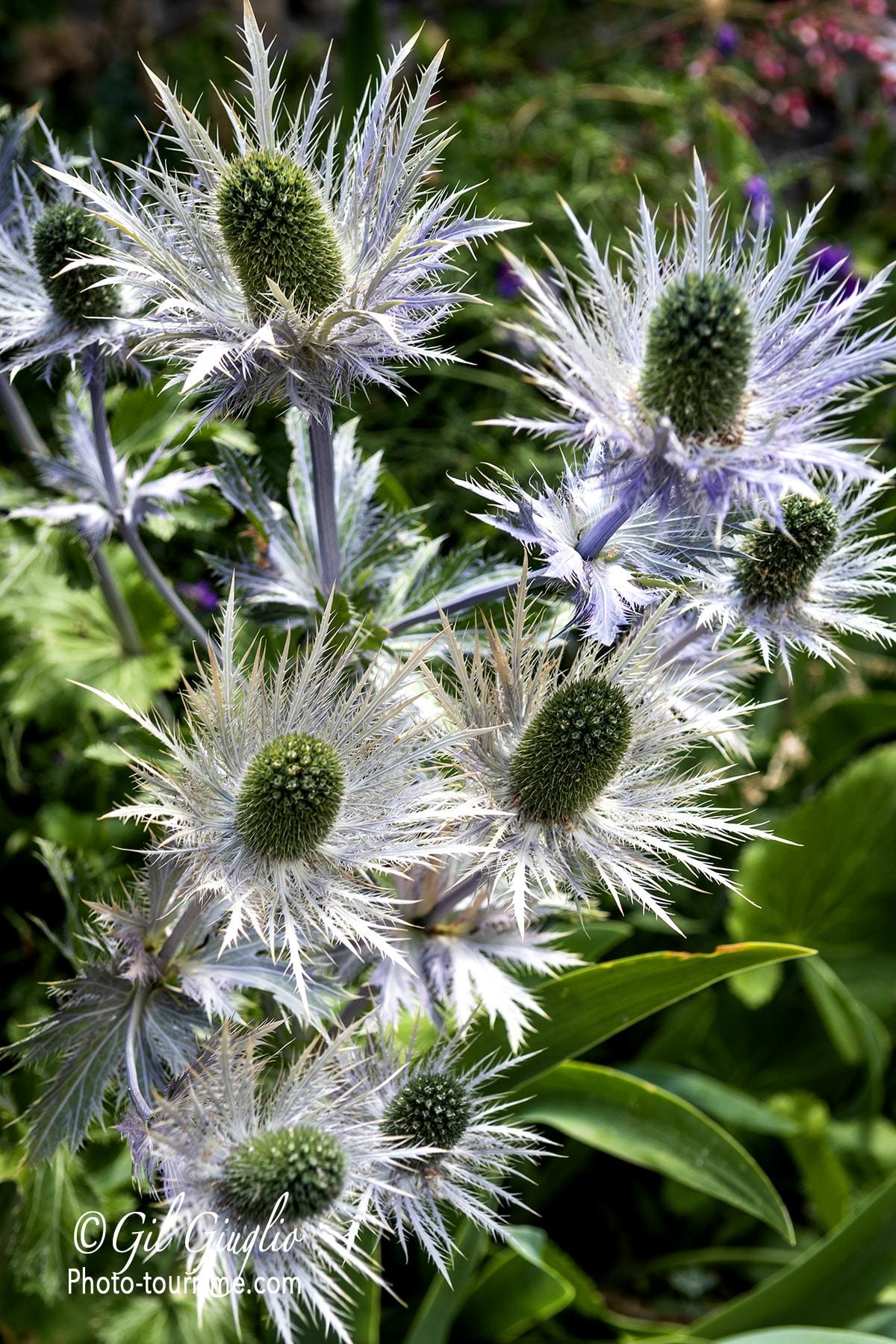 Chardons fleuris du Massif de l'Oisans