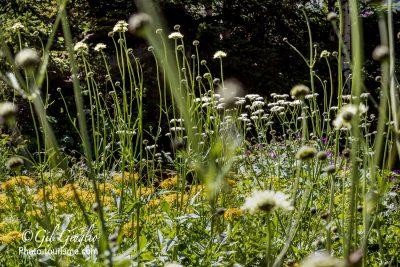 Plantes dans le Jardin Alpin du Lautaret