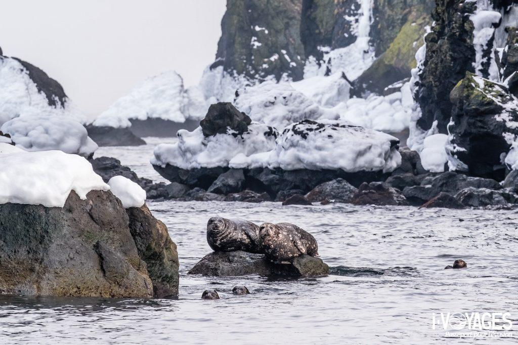 Phoques communs et loutre de mer