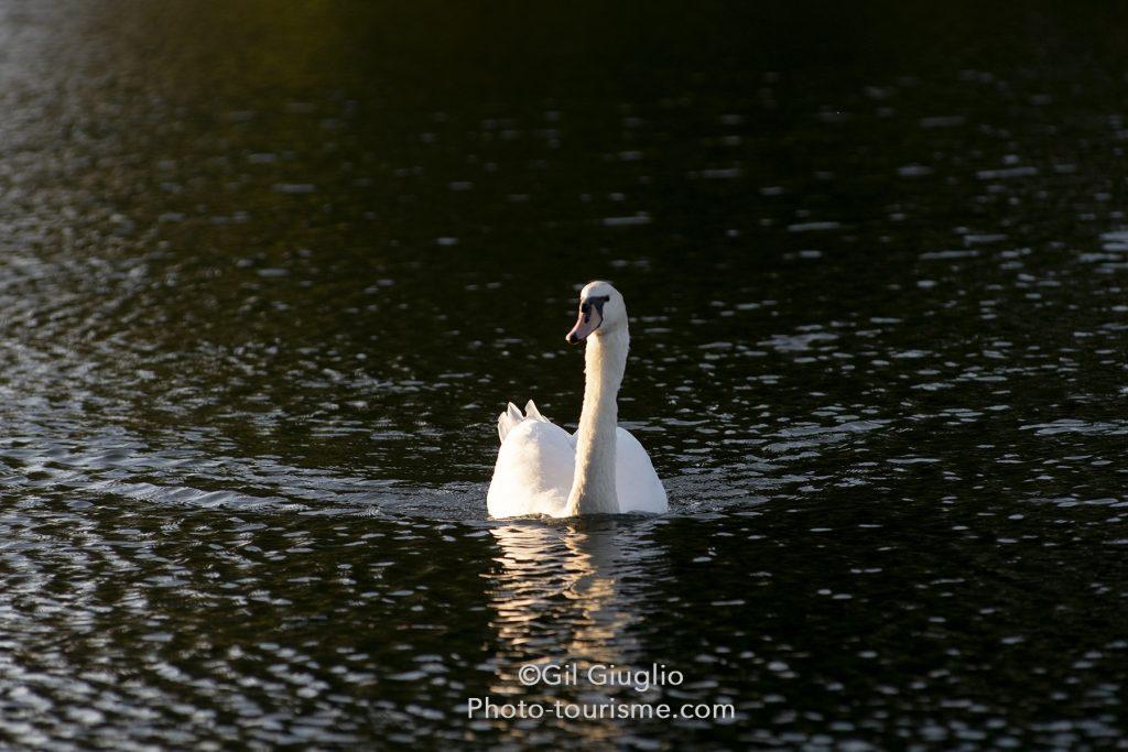 Cygne sur la rivière Aisne