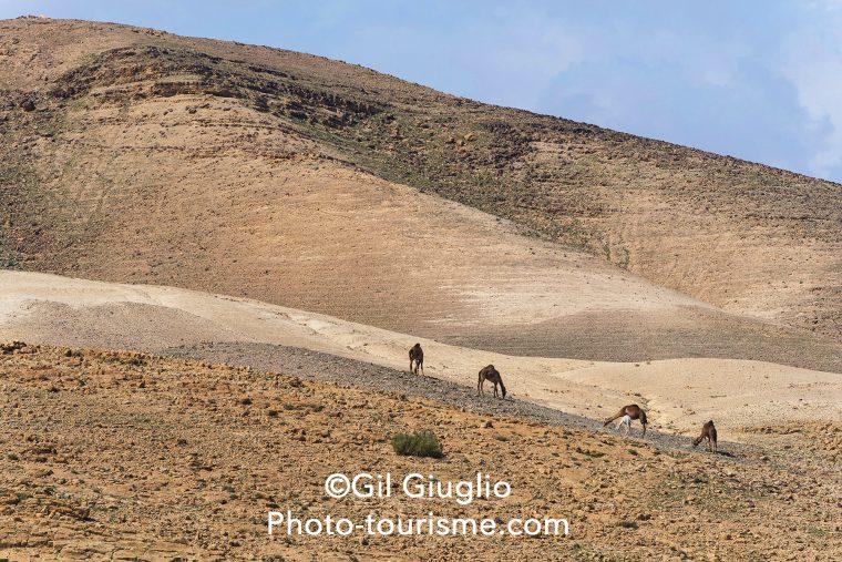 Chameaux dans le désert du Néguev