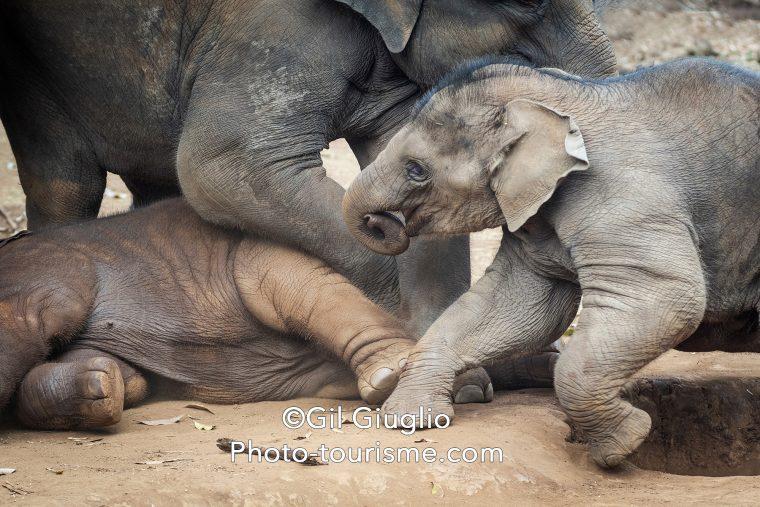 Trois éléphanteaux jouent ensemble