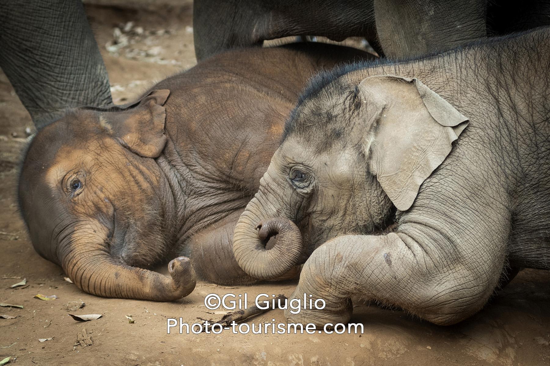 Deux éléphanteaux jouent ensemble