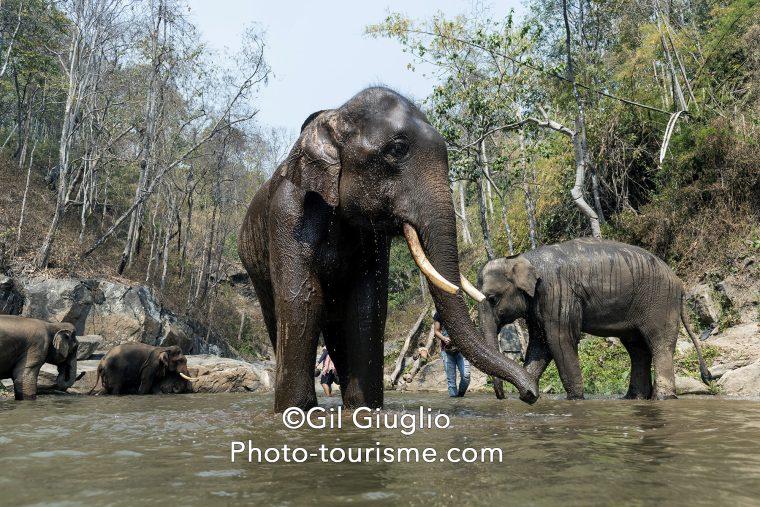 Baignade des éléphants