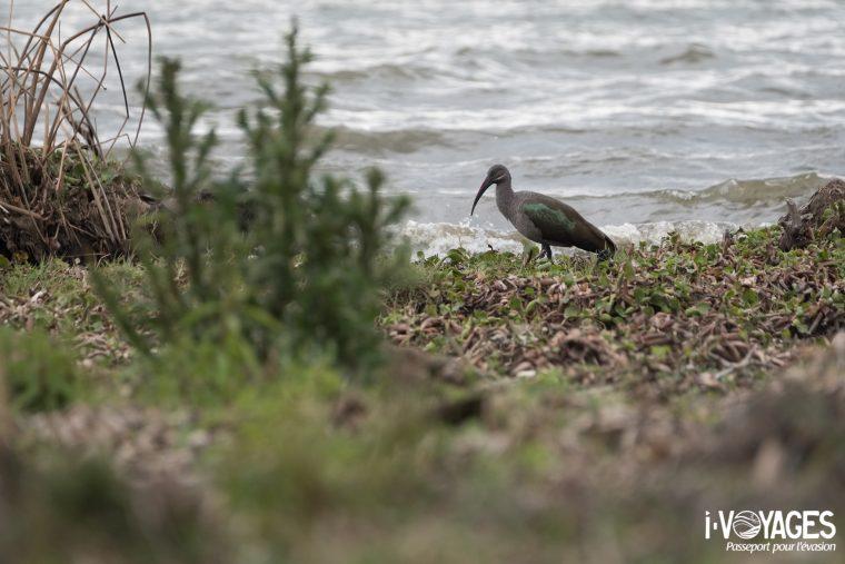 Ibis Hadaba, Crescent Island