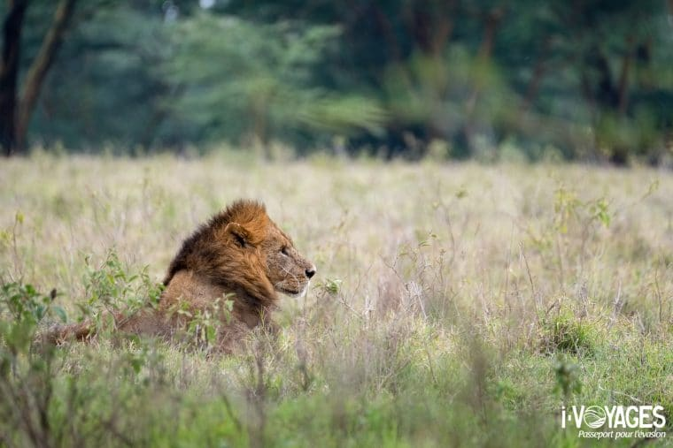 Lion, parc national Nakuru