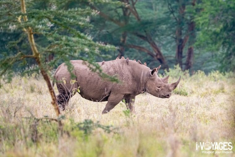 Rhinocéros noir parc national Nakuru
