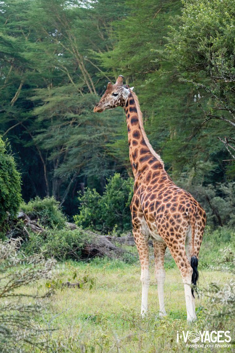girafe Rothschild, parc national Nakuru