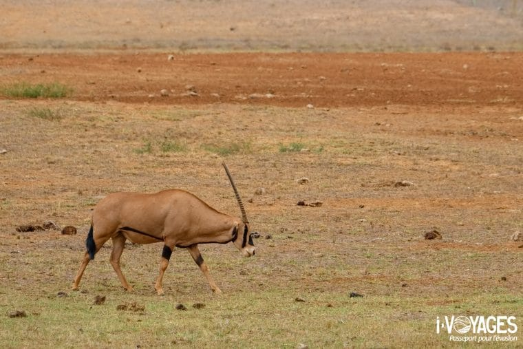 Oryx beisa, Tsavo