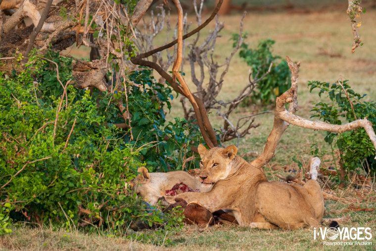 Lions, Tsavo