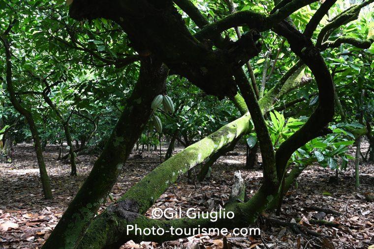 Plantation de cacao, République Dominicaine