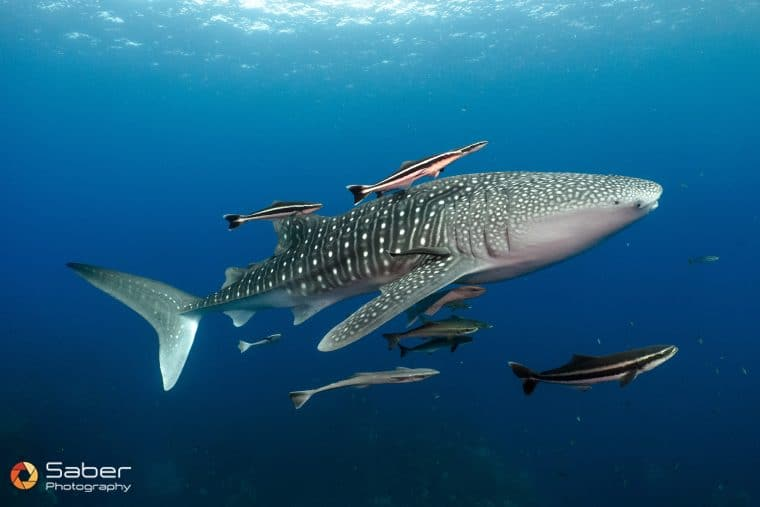 requin baleine, Koh Tao