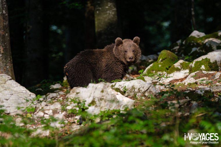 Ours brun, parc régional de Notranjska