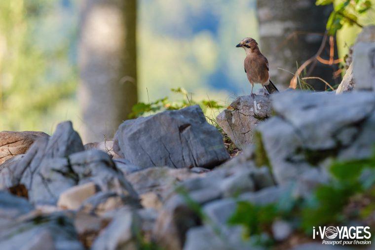 Geai des chênes, Parc régional de Notranjska