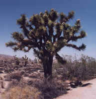 arbre de Josué.jpg (42226 octets)