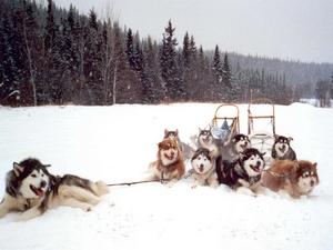 malamutes d'Alaska  au repos