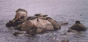 point_lobos_-_sea_lion_rocks.jpg (29751 octets)