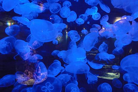 Pas moins de 17 aquariums, dont un haut de 11 mètres. Les méduses sont la principale spécialité de la Cité de la Mer.