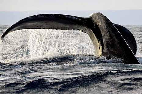 Les eaux chaudes et peu profondes autour de Sainte-Marie, à l'abri des prédateurs, en font un rendez-vous des baleines à bosse au mois de juillet et août. Ces grands mammifères sont peu farouches. (Doc. OTSM)