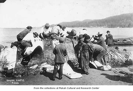 De tout temps, les Makahs ont vécu de la pêche et chassé la baleine, mais aussi cultivé les champs, travaillé le bois et le métal. (Doc. Musée Makah à Neah)