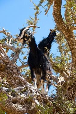 Chèvre dans un arganier © Domonik Golenia - Flickr