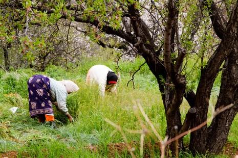 Au printemps, les mauvaises herbes doivent être régulièrement retirées des parcelles de safran