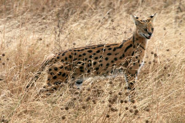 Serengeti : Serval © Grégory Rohart