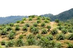 Plantation de palmiers à huile surdes terres récemment déforestées, Sarawak.©M Ross/ Survival