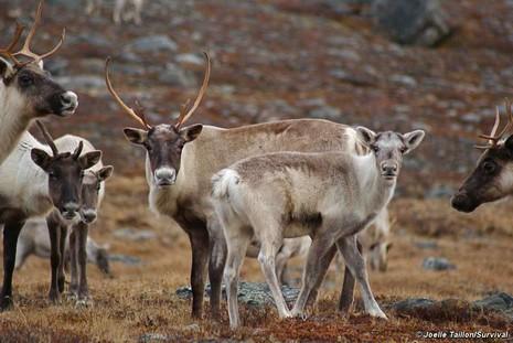 Le renne est un élément central de la vie et de la culture des peuples indigènes de la région sub-arctique. © Joelle Taillon/Survival