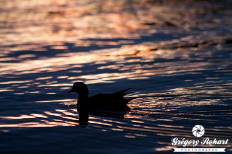 Canard siffleur sur le lac Mývatn