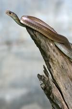 Serpent d'eau - Un de ses semblables finira dans notre assiette
