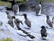 Guillemots de Troïl et Pinguoins Torda sur Skellig Michael