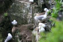 Mouettes tridactyles sur Skellig Michael