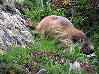 Marmotte proche du sentier